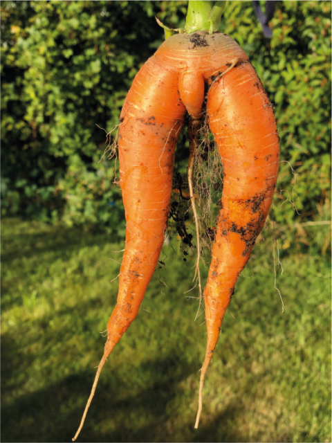 rude homegrown carrot
